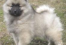Inzercia psov: Německý špic vlčí / keeshond krásná štěňata s PP