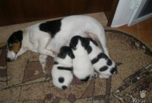 Inzercia psov: Predáme krásne šteniatka Jack Russela