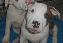 Inzercia psov: Americký Pitbull Terier bez PP