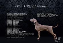 Inzercia psov: prodam stenatka weimarskeho stavace