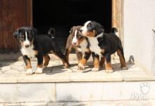Inzercia psov: Prodám štěně appenzellského salašnického psa s PP