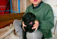 Inzercia psov: Briard - černá štěňata s PP
