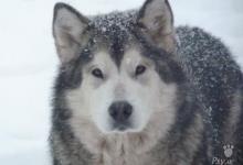 Inzercia psov: Zadáme šteniatka Aljašský malamut