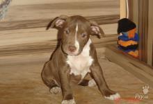 Inzercia psov: predam šteniatka