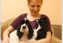 Inzercia psov: Americký kokršpaněl