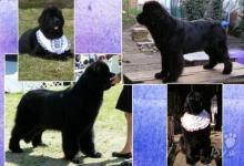 Inzercia psov: Štěňata Novofundlandský pes