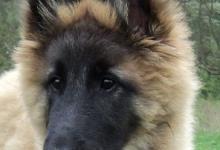 Inzercia psov: Steniatko fenky Belgický ovčiak - Tervueren s PP