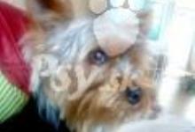 Inzercia psov: Kryrie Yorkshirsky terier