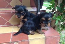 Inzercia psov: Yorkshirsky terier šteniatka na predaj aj osobitne