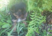 Inzercia psov: Fenočka jorkšírskeho teriéra
