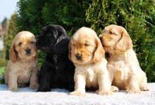 Inzercia psov: Štěňátka Anglického kokršpaněla k odběru