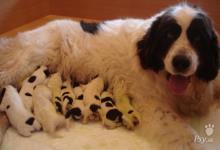Inzercia psov: LANDSEER štěnata
