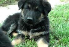 Inzercia psov: Krásne šteniatka nemecký ovčiak