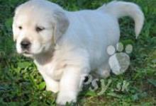 Inzercia psov: Predám šteniatka zlatého retrievera