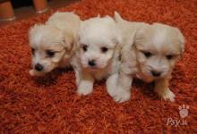 Inzercia psov: Šteniatka maltezak