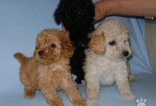 Inzercia psov: predám šteniatka pudel