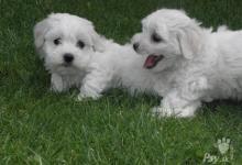 Inzercia psov: Maltezáčiky