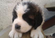 Inzercia psov: Šteniatka bernardina