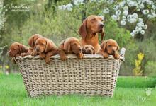 Inzercia psov: Maďarský stavač-štěnce s PP