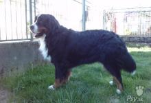 Inzercia psov: Bernský salašnícky pes - KRYTIE