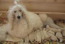 Inzercia psov: PUDEL VEĽKÝ BIELY - ŠTENIATKA