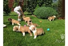 Inzercia psov: Anglický buldog štěňata