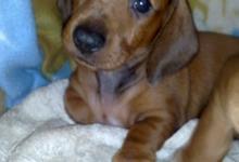 Inzercia psov: Prodám štěnata jezevčíka s PP