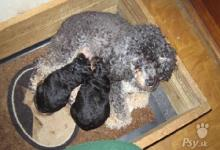 Inzercia psov: Štěňata pudl toy černý s pálením