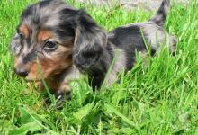 Inzercia psov: Jazvečík mini dlhosrstý tygrovaný s PP