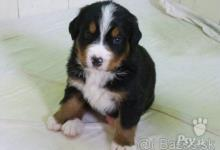 Inzercia psov: Šteniatka bernského salašníckeho psa