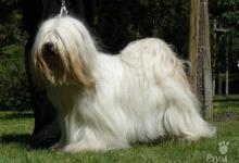 Inzercia psov: TIBETSKÝ TERIÉR - štěňata pouze s PP