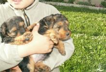 Inzercia psov: Predám šteňatá WELSH TERRIER bez PP, odber už možn