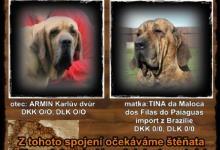 Inzercia psov: BRAZILSKÁ FILA s PP