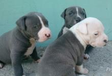 Inzercia psov: na rezervaciu posledný samcek staforda blue nose