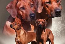 Inzercia psov: Rhodéský Ridgeback - štěňátka 2013/2014