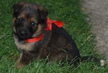Inzercia psov: Predám nemeckého ovčiaka
