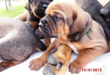 Inzercia psov: Tosa Inu s PP - odber od 13.7.´13