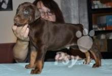 Inzercia psov: Doberman - černá a hnědá štěňata s rodokmenem