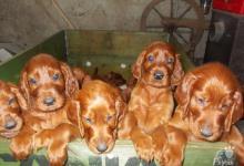 Inzercia psov: predaj irskych setrov