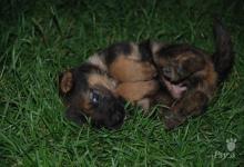 Inzercia psov: Predám šteniatko nemeckého ovčiaka