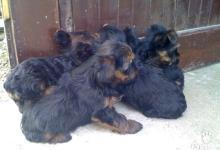 Inzercia psov: Predáme rozkošné šteniatka Yorkshir