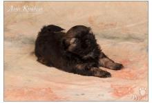 Inzercia psov: Shih Tzu - šteniatka ( shi-tzu,si-cu,si-tzu )