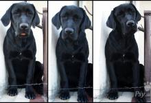 Inzercia psov: Labradorský retríver