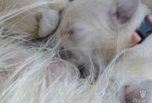 Inzercia psov: Zlatý Retriever - ideální společník
