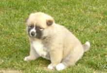 Inzercia psov: predám šteniatka akita inú