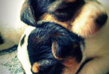 Inzercia psov: JACK RUSSELL TERIER