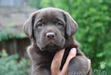 Inzercia psov: predám šteniatka labradora