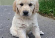 Inzercia psov: Predám fenku Zlatého Retrievera