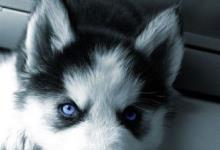Inzercia psov: Sibirsky Husky