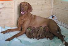 Inzercia psov: Volní pejsci maďarského ohaře s PP